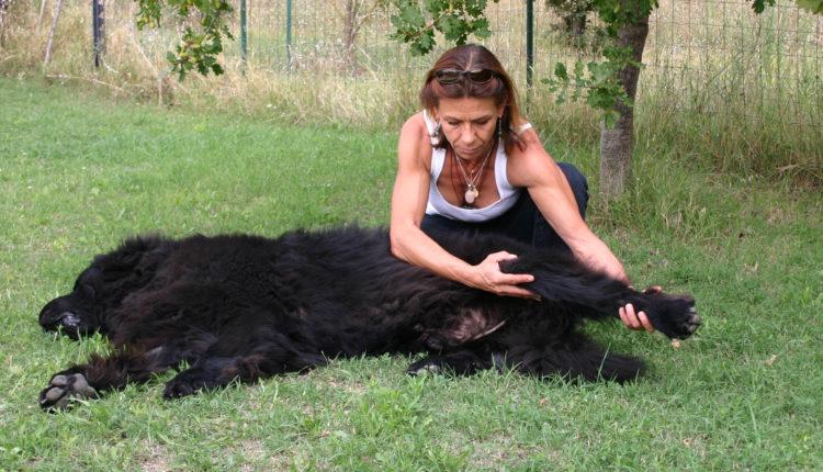 Massage d'un grand chien extérieur